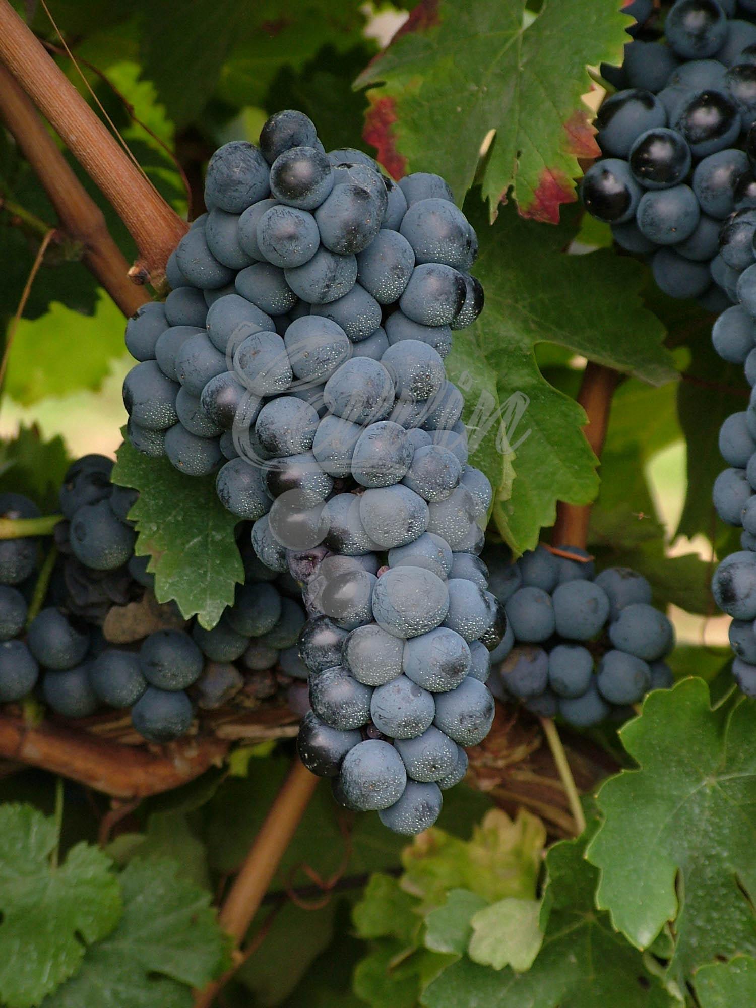 Kavčina-grozd