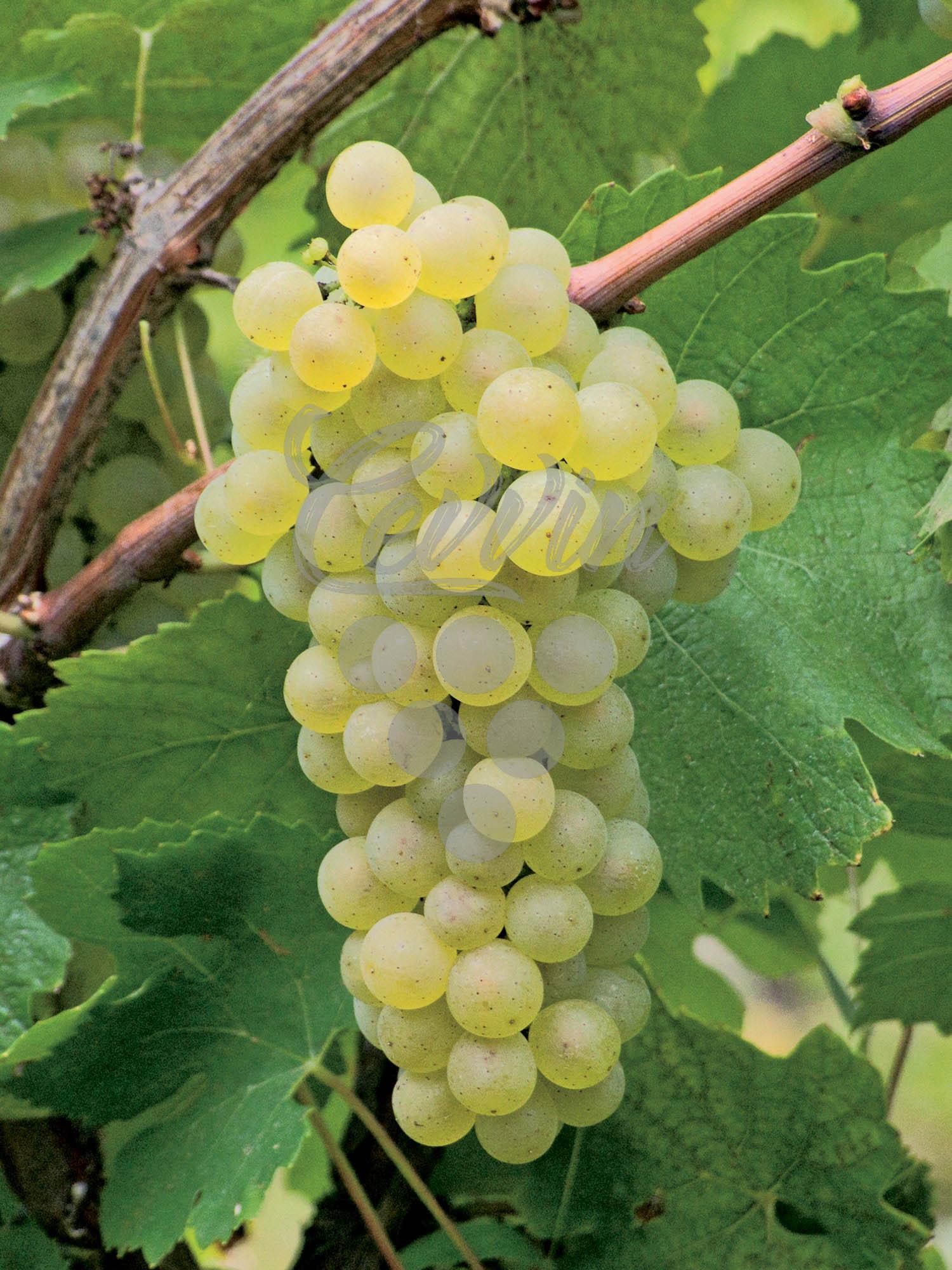 Šardone-grozd