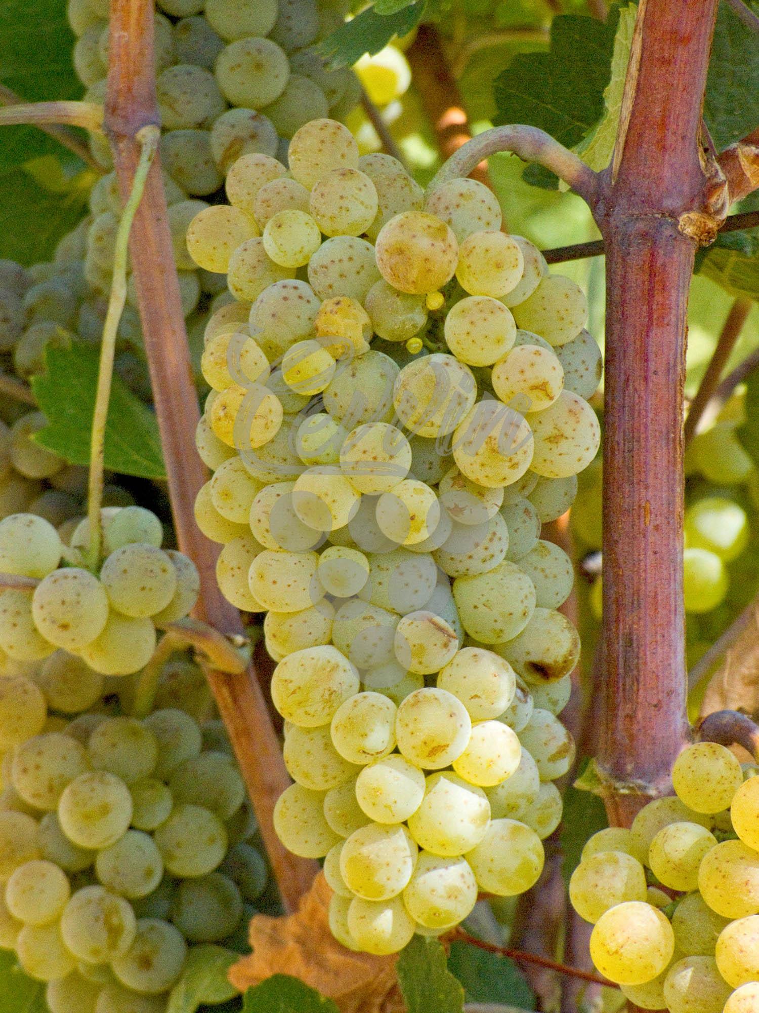 Župljanka-grozd