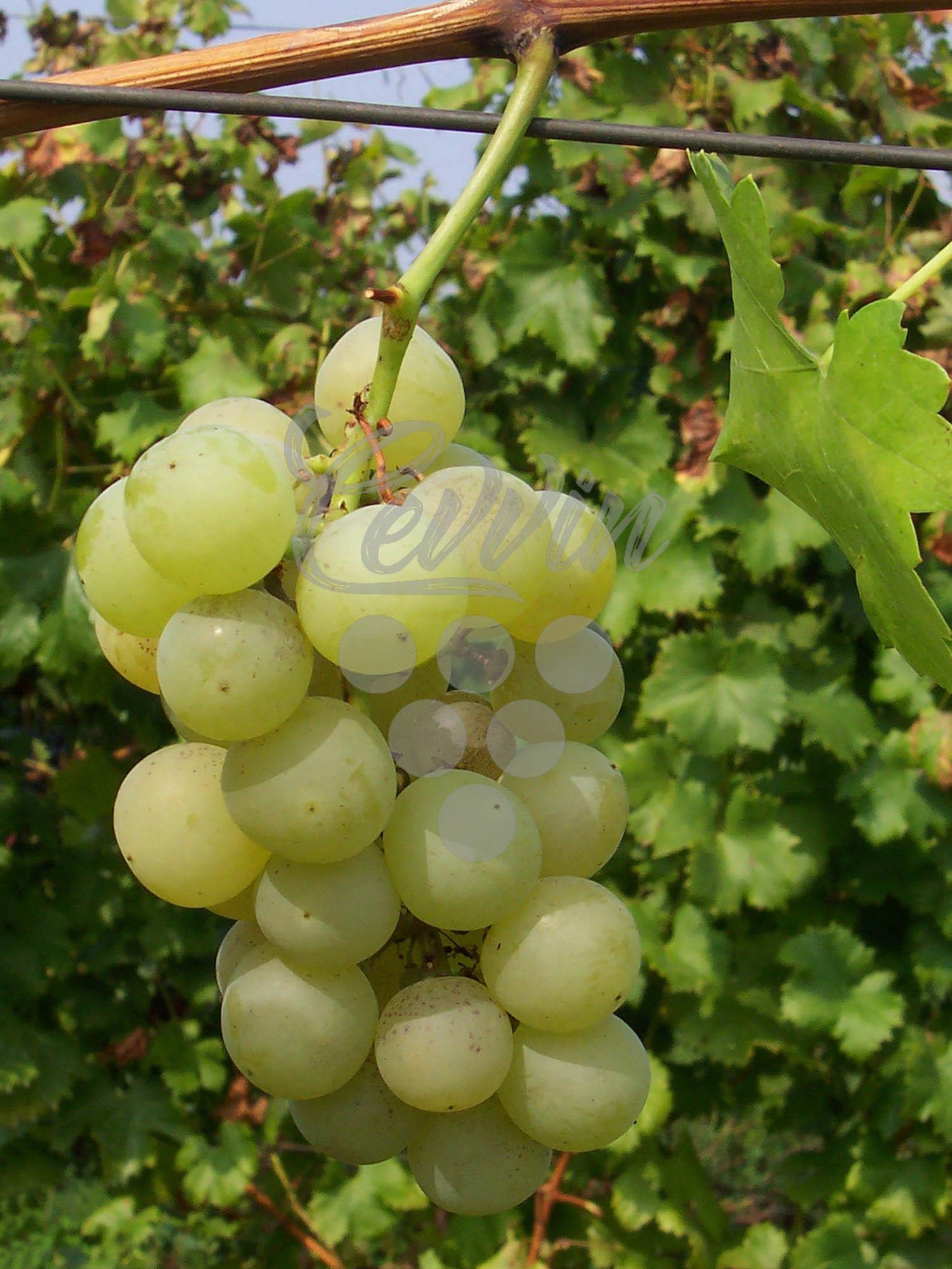 Demir Kapija-grozd