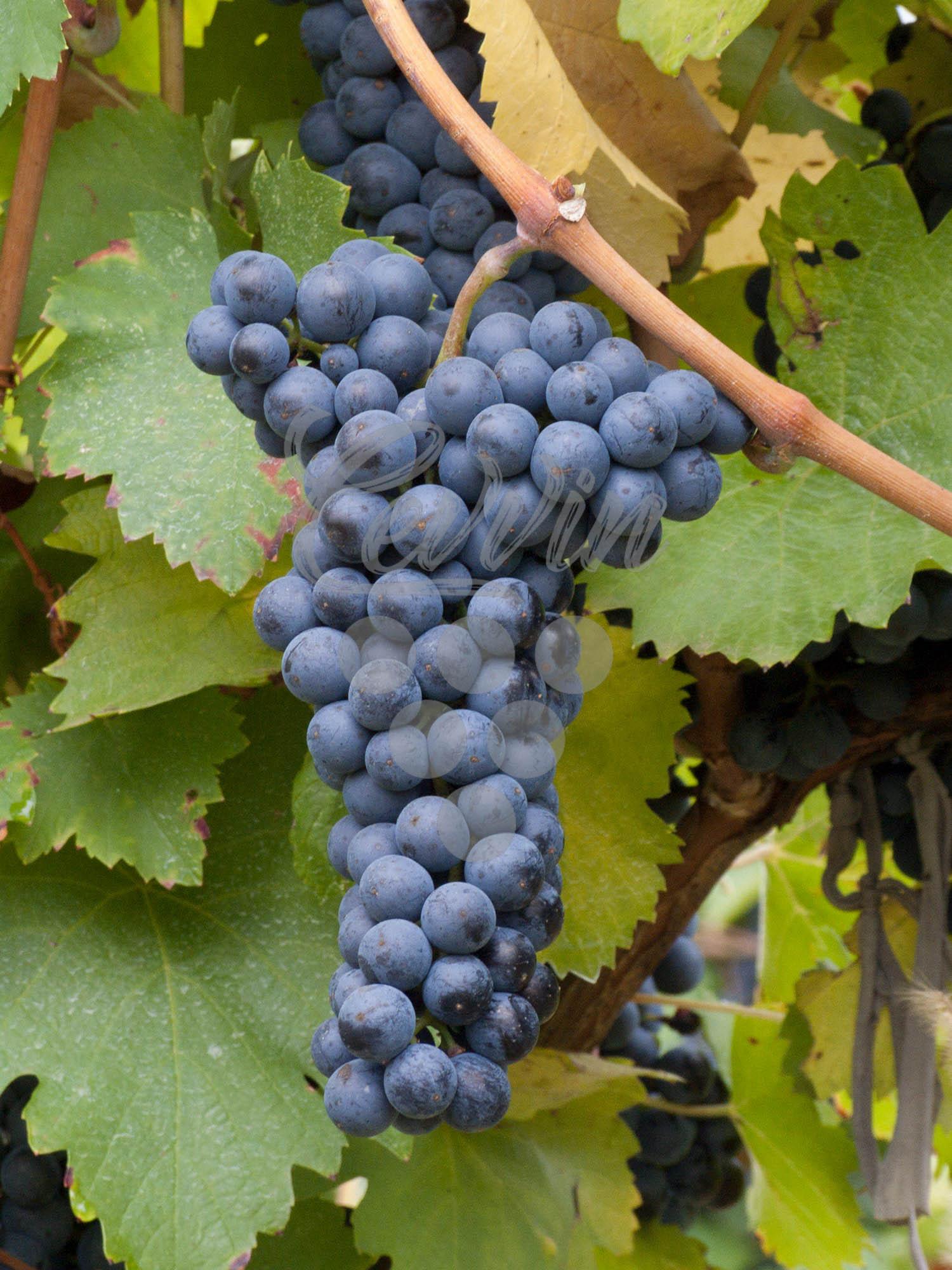 Frankovka-grozd