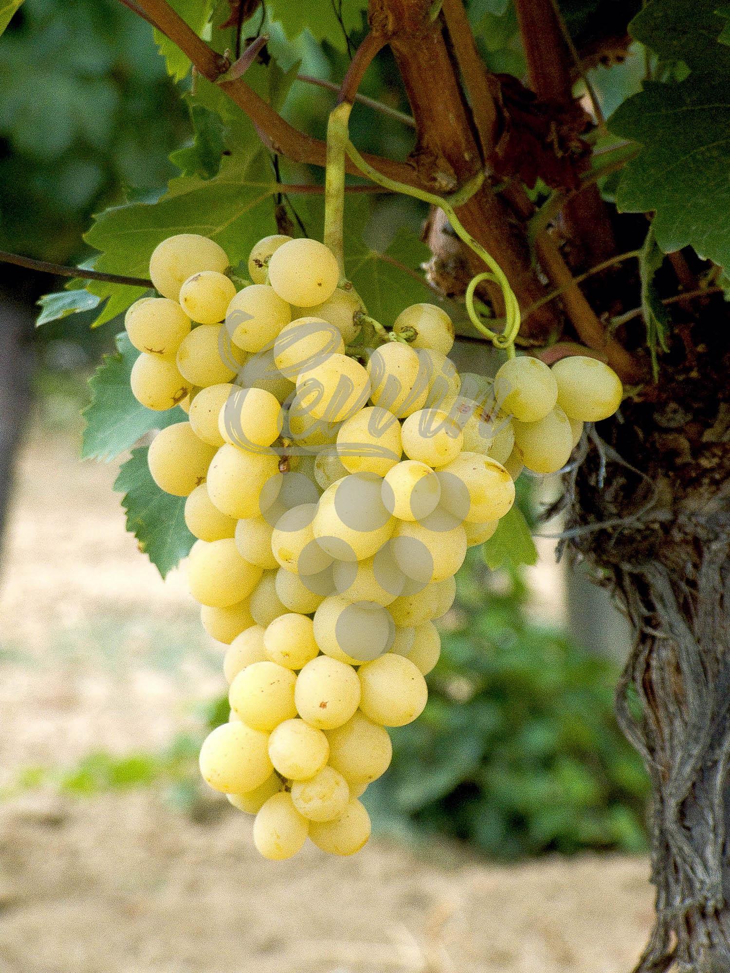Italia-grozd