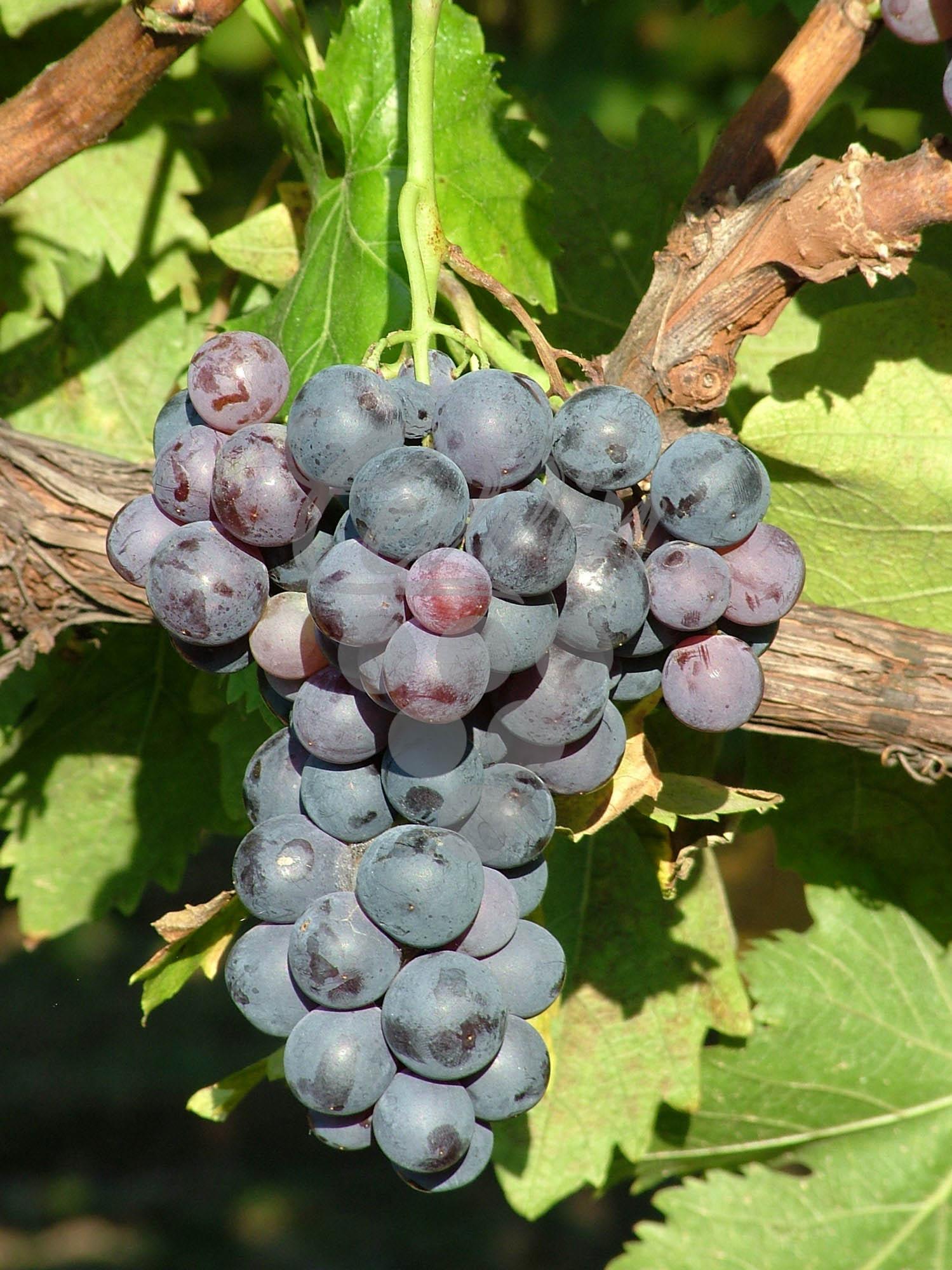 Karmen-grozd