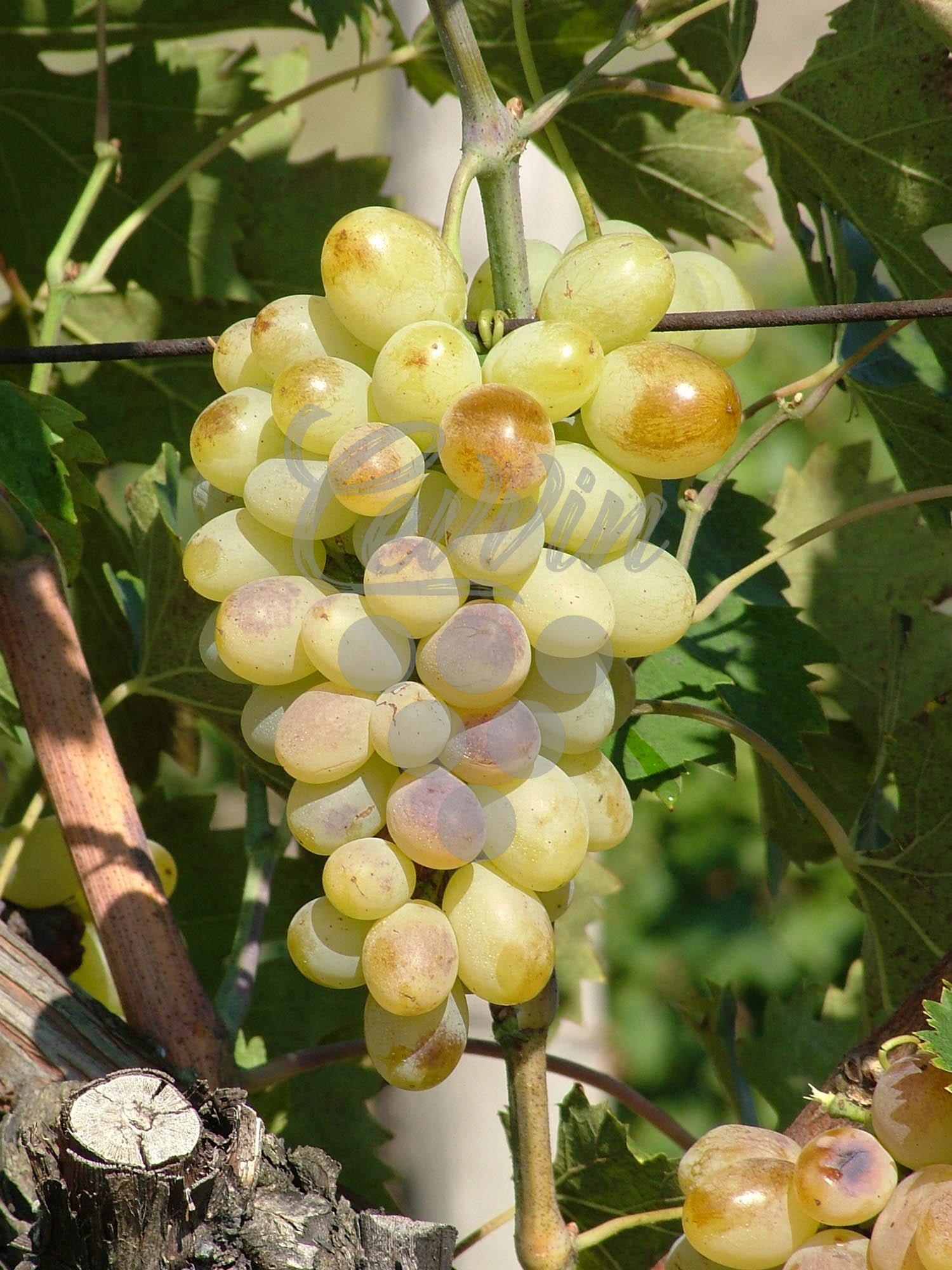 Lasta-grozd