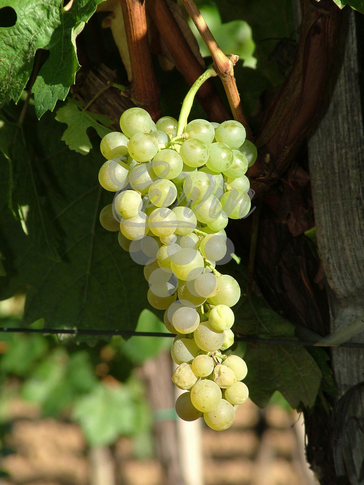 Neoplanta-grozd