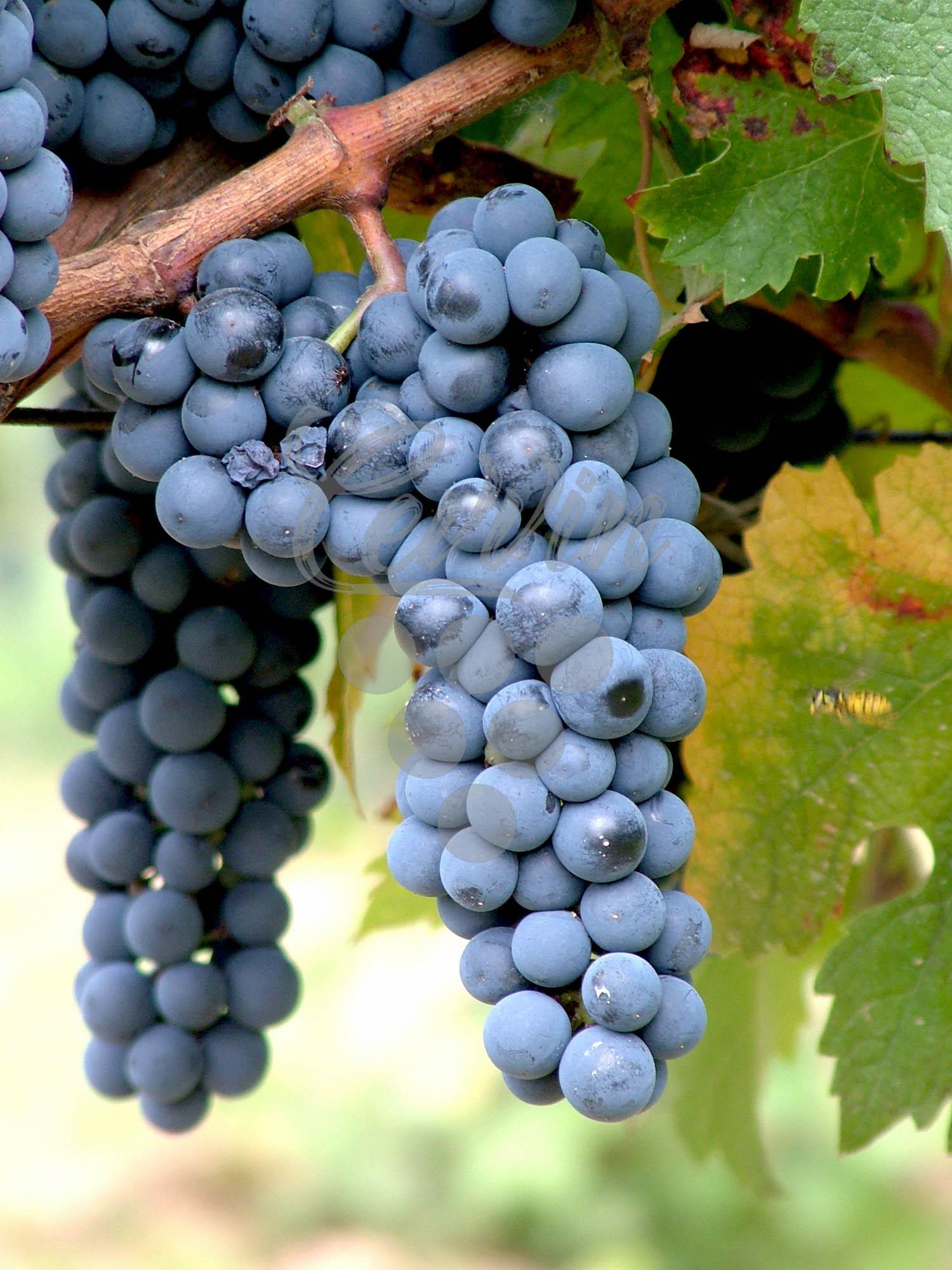 Probus-grozd