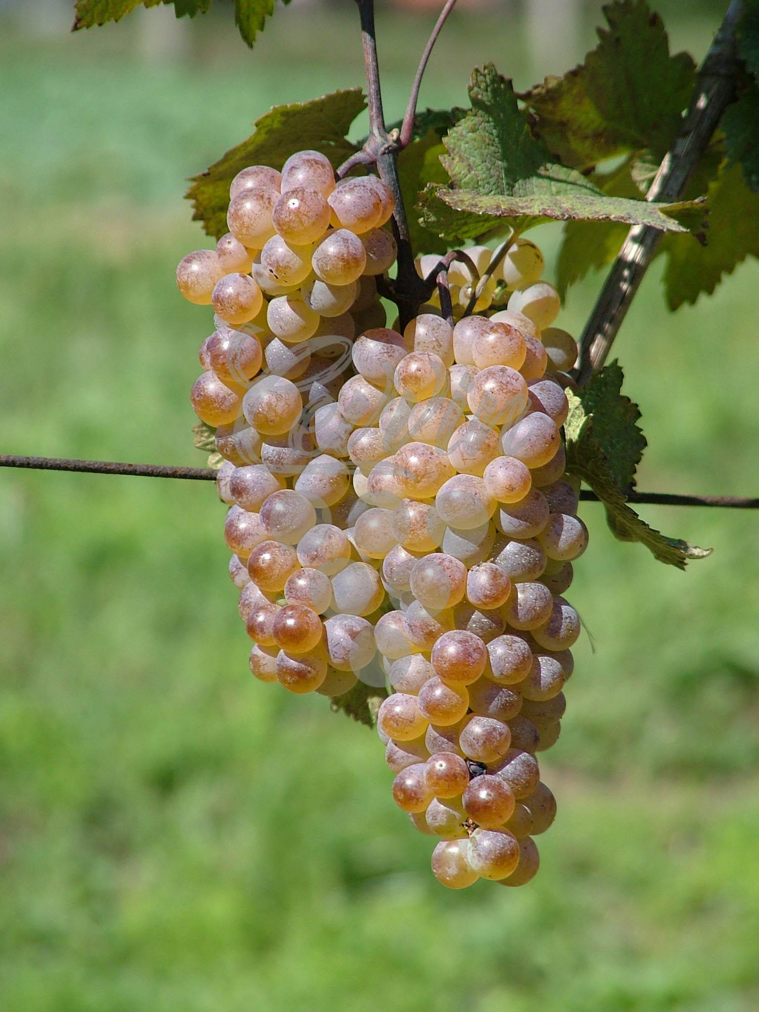 Rkaciteli-grozd