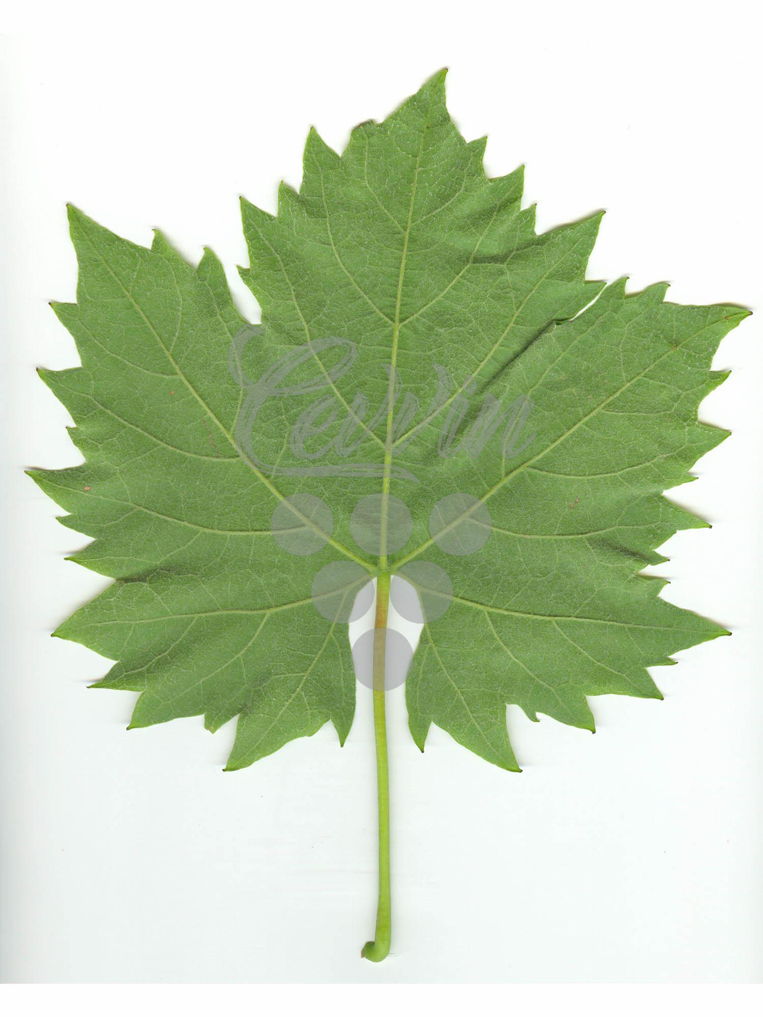 Sremska Zelenika-naličje