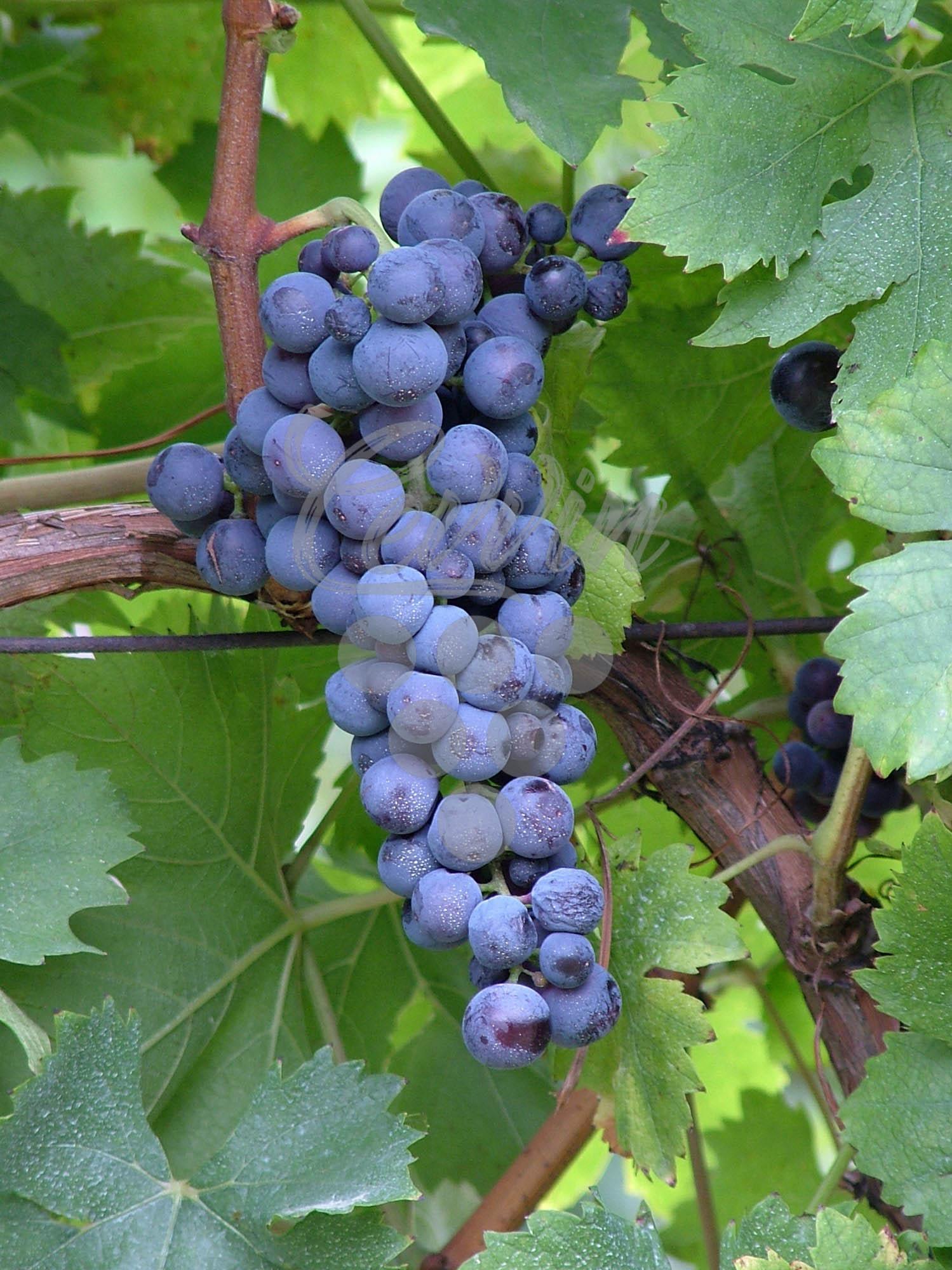 Tamjanika crna-grozd