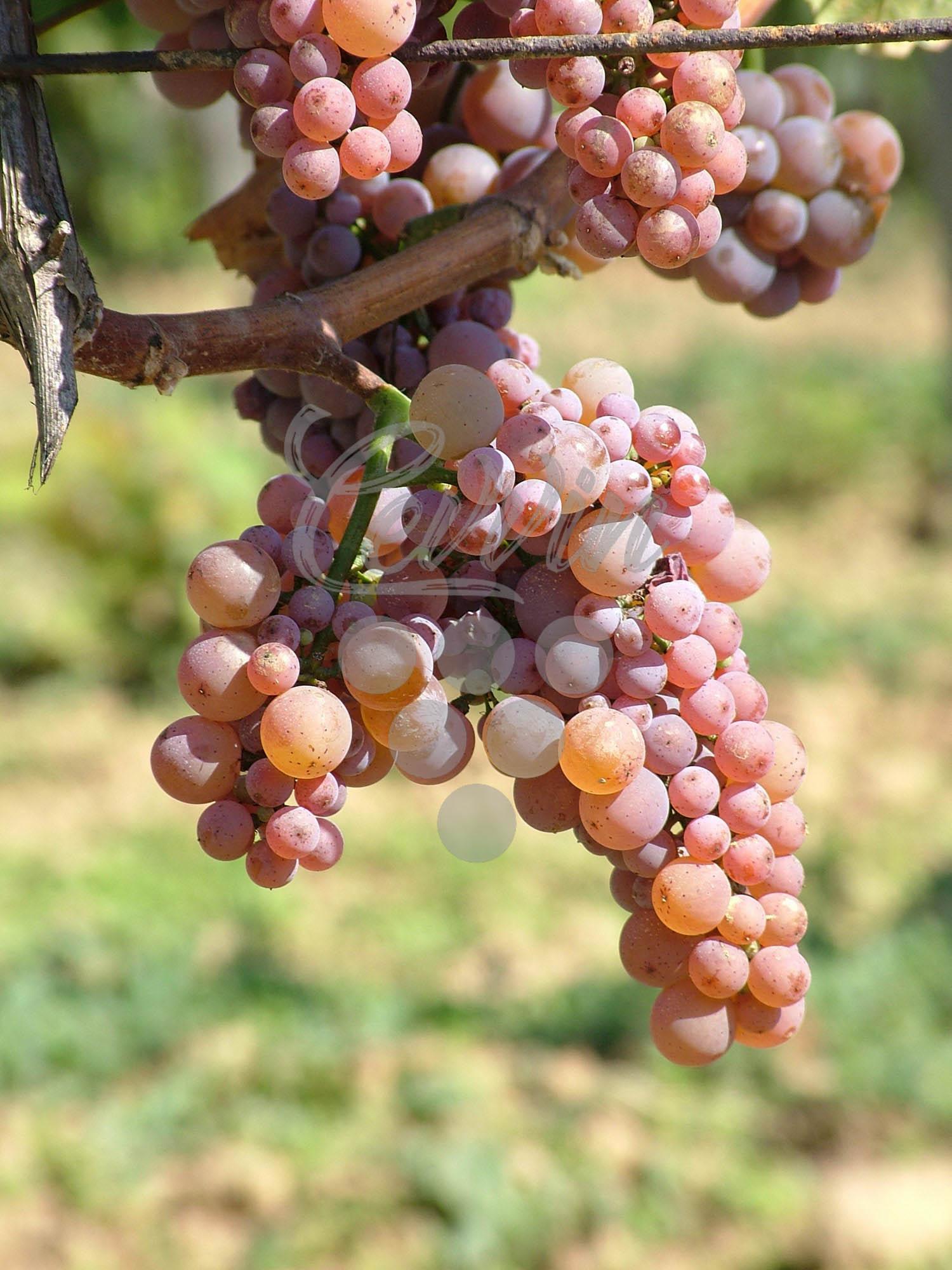 Traminac-grozd