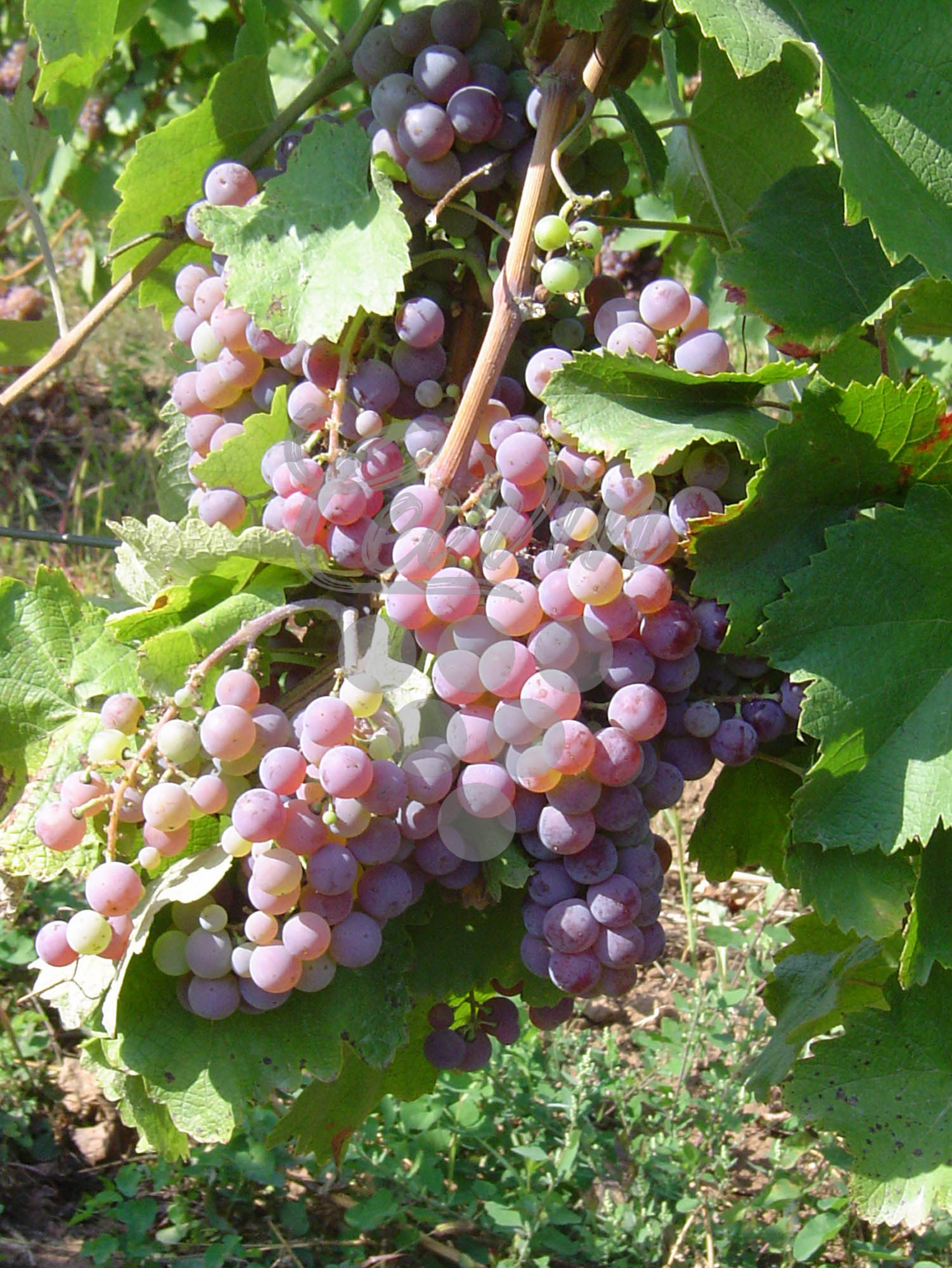 Ruzica-grozd