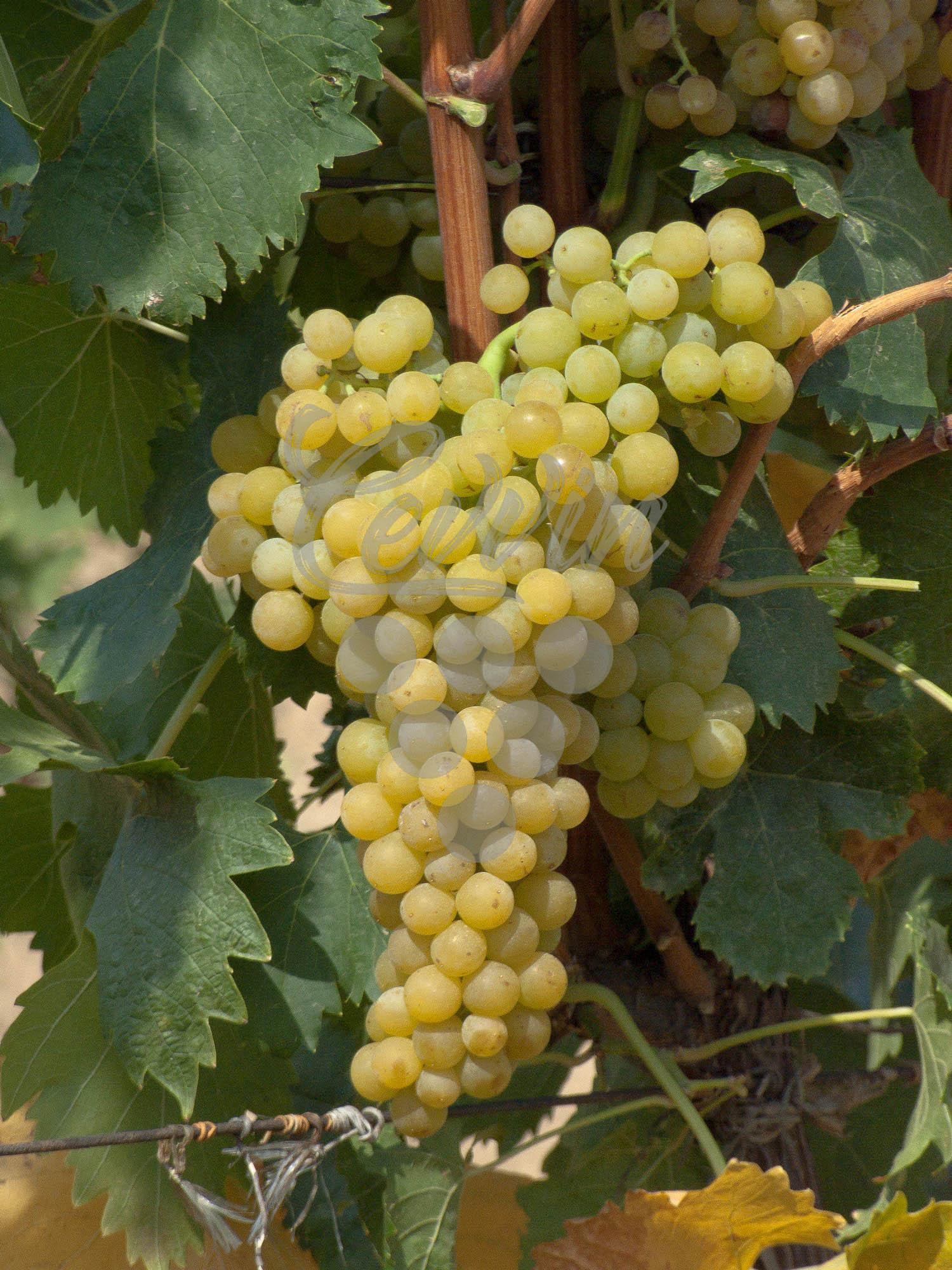 tamjanika-bela-grozd